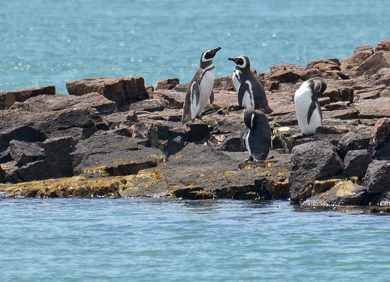 Pinguino_SC_0875