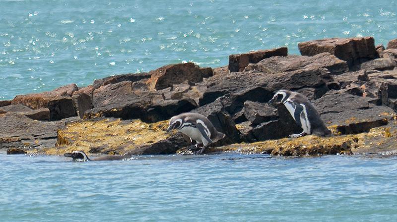 Pinguino_SC_0890