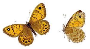 Megere papillon